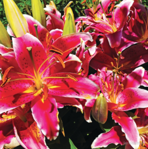Asiatic Lily Photography by Jerald Simon